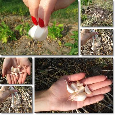 aglio piccolo
