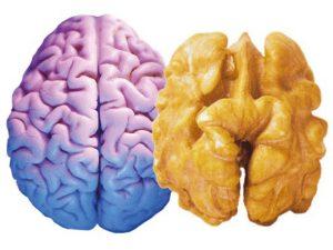 noci cervello2