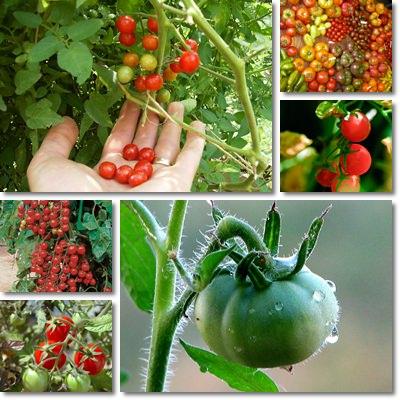 pomodoro piccolo