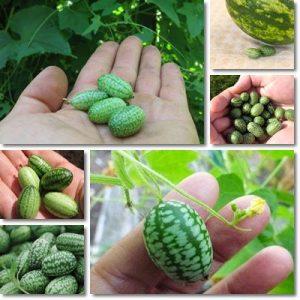 Cocomero mini – Anguria mini del sud america