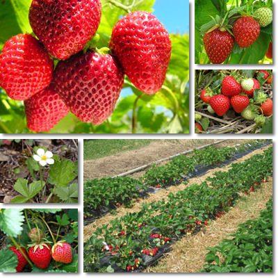 Proprietà e benefici delle fragole