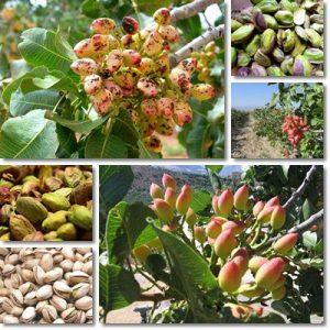 Proprietà pistacchio