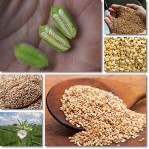 Proprietà semi di sesamo