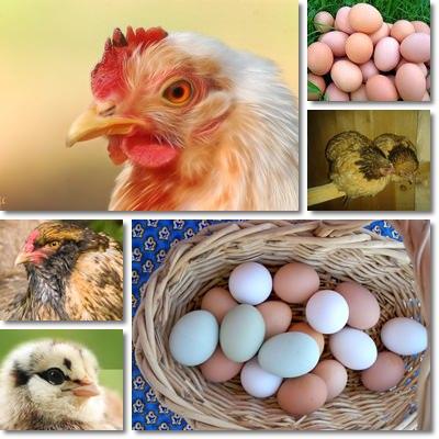 uova di gallina piccola