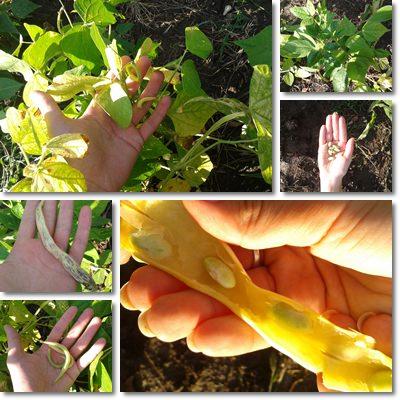 fagiolini verdi piccoli