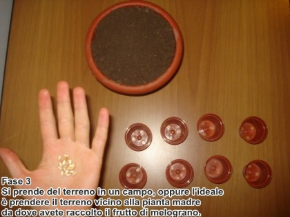 semina melograno 3