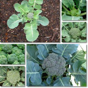 Proprietà e benefici Broccoli