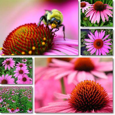 Proprietà e benefici Echinacea