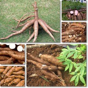 Proprietà e benefici Manioca
