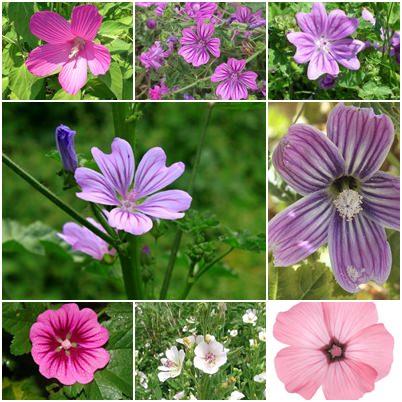 Malva fiore colori