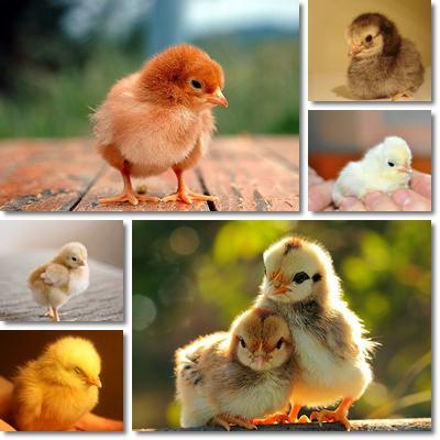 Sviluppo embrione uovo di gallina