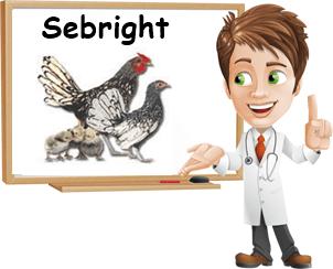 Gallina Sebright