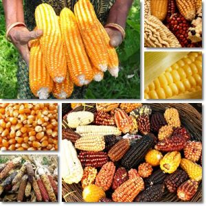 10 benefici del Mais