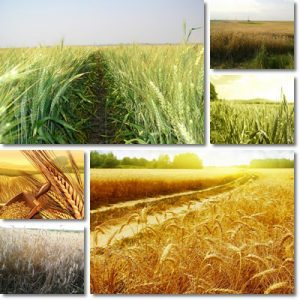Proprietà e benefici olio di germe di grano