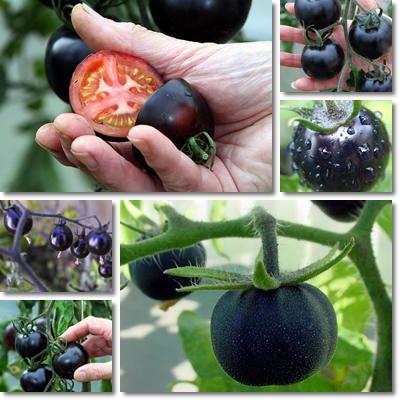 Proprietà e benefici Pomodoro Nero