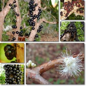 Proprietà e benefici Jabuticaba