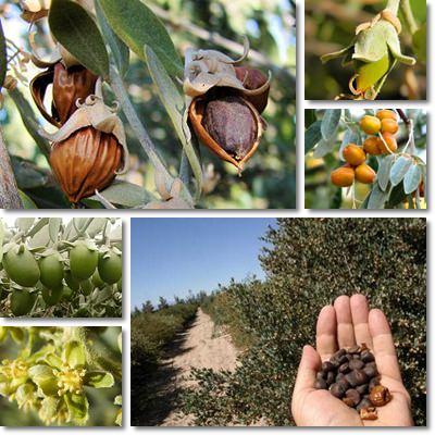 Proprietà e benefici olio di Jojoba