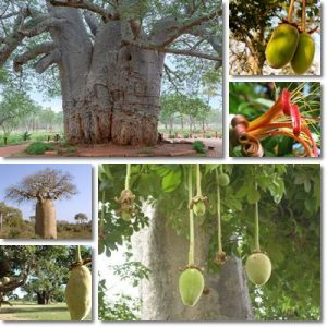 Proprietà e benefici Baobab