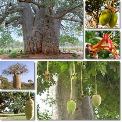 Proprietà e benefici Baobab