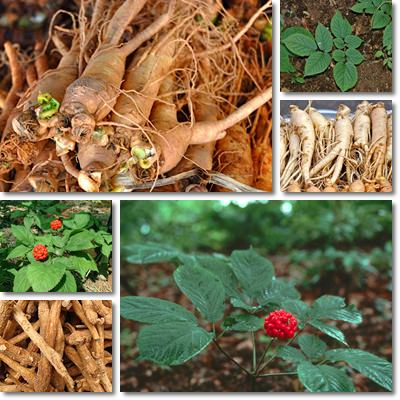 Proprietà e benefici Ginseng