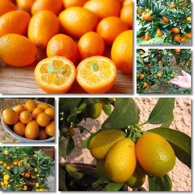 Proprietà e benefici Kumquat