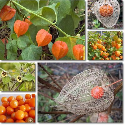 Proprietà e benefici Physalis