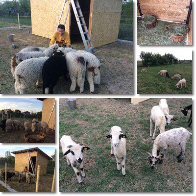 Come allevare pecore