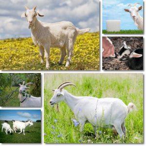 Proprietà e benefici Latte di capra
