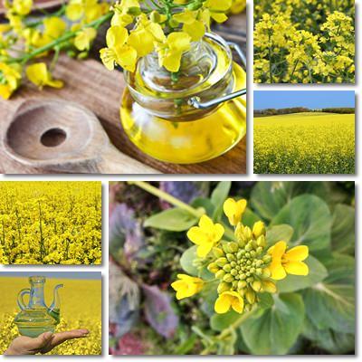 Proprietà e benefici Olio di colza