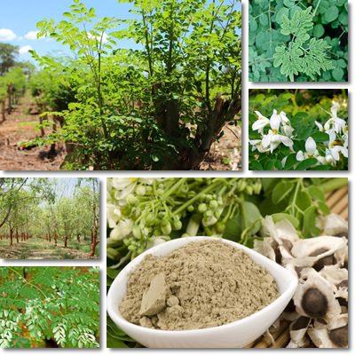 Proprietà e benefici Moringa Oleifera