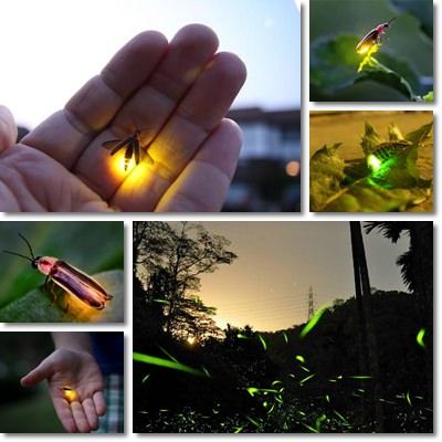 Perchè le lucciole fanno luce