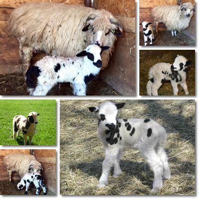 Segni parto della pecora