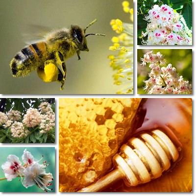 Proprietà e benefici Miele di Castagno
