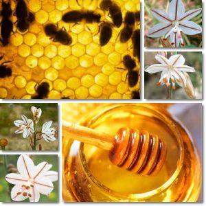 Proprietà e benefici Miele di Asfodelo