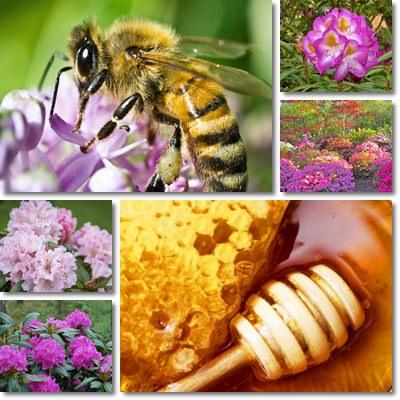 Proprietà e benefici Miele di Rododendro
