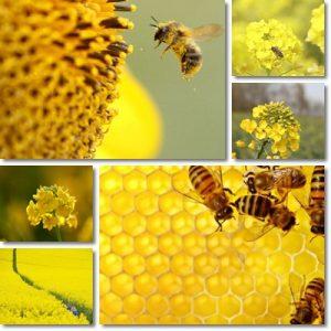 Proprietà e benefici Miele di Colza