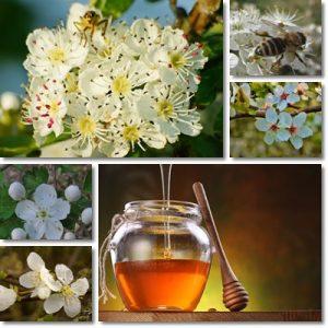 Proprietà e benefici Miele di Biancospino
