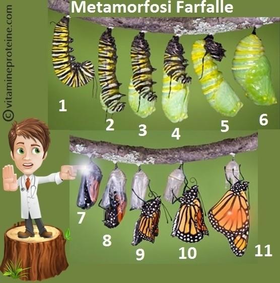 Metamorfosi Farfalle