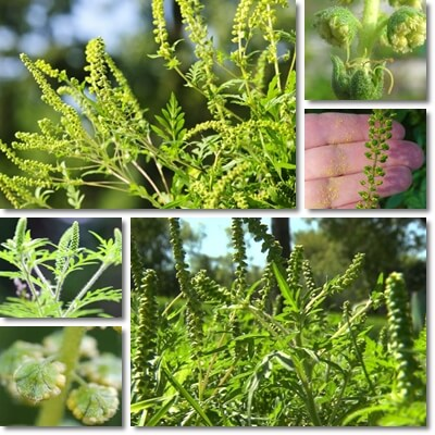 Allergia Ambrosia: Cause, Sintomi e Cura