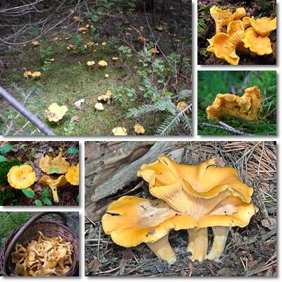 Funghi Gallinacci Galletti