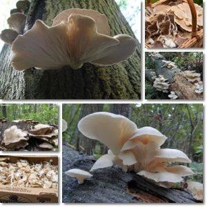 Proprietà e benefici Funghi Pleurotus