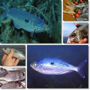 Proprietà e benefici Pesce Menola
