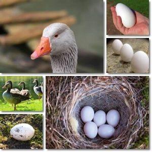 Proprietà e benefici Uovo di Oca