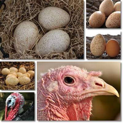 Proprietà e Benefici Delle Uova di Tacchino
