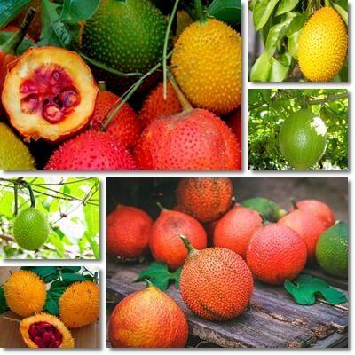 frutto gac